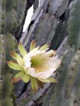 A cactus flower, do you see the bee?