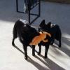 Iggy and Jett playing – 3 pics