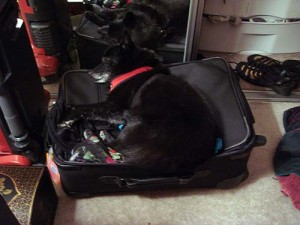 Basil sleeping on a suitcase