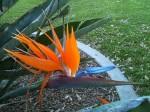 Bird of Paradise bloom