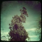 A cool spiraling tree (Hipstamatic)