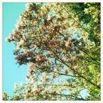Magnolias (Hipstamatic)