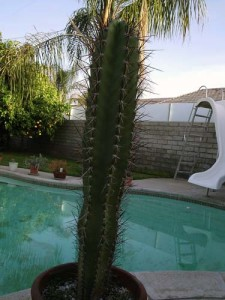 One of Dave's cacti growing (well) by the pool.