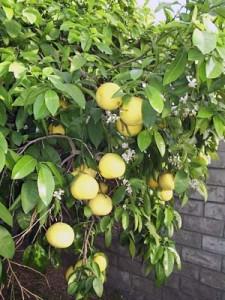 Grapefruit growing in Dave's backyard