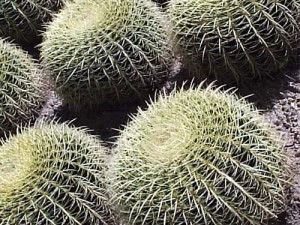 A cactus at Moorten Botanitcal Garden