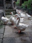 Geese at the cathedral
