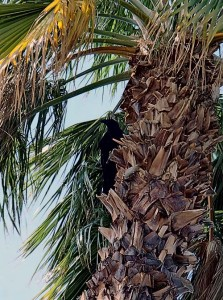 A large crow in a palm tree