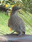 A roadrunner in a neighbor's yard - the close-up