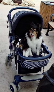 Two dogs in a baby stroller
