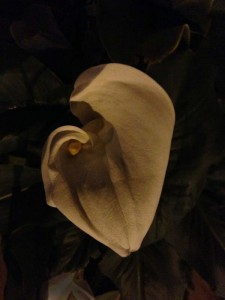 A lilly at night