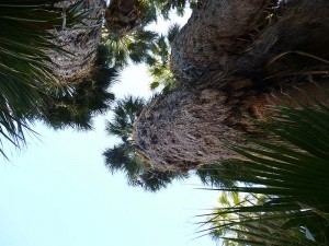 Looking up at the palms